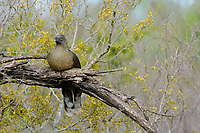 Roosting adult Plain Chachalaca (Ortalis vetula). Starr County, Texas. March.