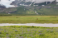 Brown bear in a meadow of wildflowers, Katmai National Park, Alaska Peninsula, southwest Alaska.
