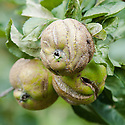 Apple stunted and distorted by sawfly larvae. The ribbon-like scars on the skin can crack and allow rot to develop.