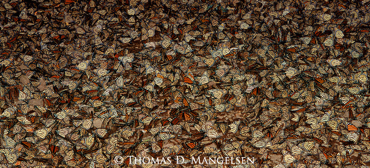 Countless Monarch Butterflies grouped together at El Rosario Butterfly Sanctuary in Mexico.
