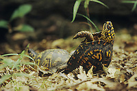 Eastern Box Turtle (Terrapene carolina carolina), pair mating, Raleigh, Wake County, North Carolina, USA
