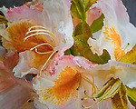 Vashon Island, WA<br /> Blossom detail of a western azalea (Rhododendron occidentale)