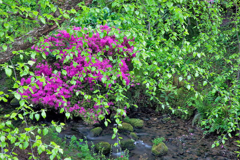 Azalea with new growth on alder trees and stream. Crystal Springs Rhododendron Gardens, Oregon