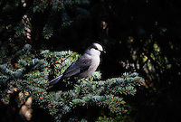 Beautiful gray jay perched on a fir bough in the Kootenai Forest Montana