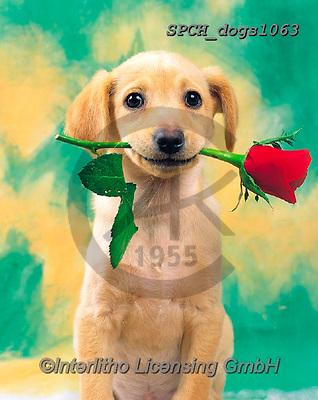 Xavier, ANIMALS, REALISTISCHE TIERE, ANIMALES REALISTICOS, dogs, photos+++++,SPCHDOGS1063,#a#, EVERYDAY