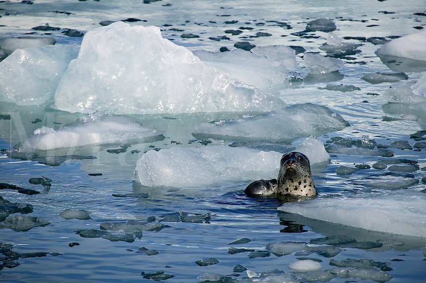 A Harbor Seal on the ice flow from Aialik Glacier, Kenai Fjords National Park, Alaska