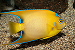 Queen Angelfish juvenile swimming right