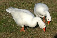Oche. Goose....