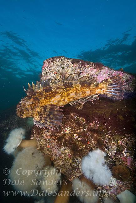 Cabezon (Scorpaenichthys marmoratus) underwater in the Strait of Georgia, British Columbia, Canada.