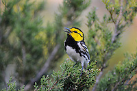 Golden-cheeked Warbler (Dendroica chrysoparia), male on Mountain Cedar (Juniperus ashei), Friedrich Wilderness Park, San Antonio, Hill Country, Central Texas, USA