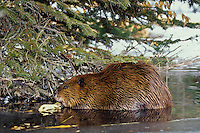 North American Beaver (Castor canadensis) eating tree limb while in beaver pond, early Winter.  Beaver often use the same location in their pond to eat.