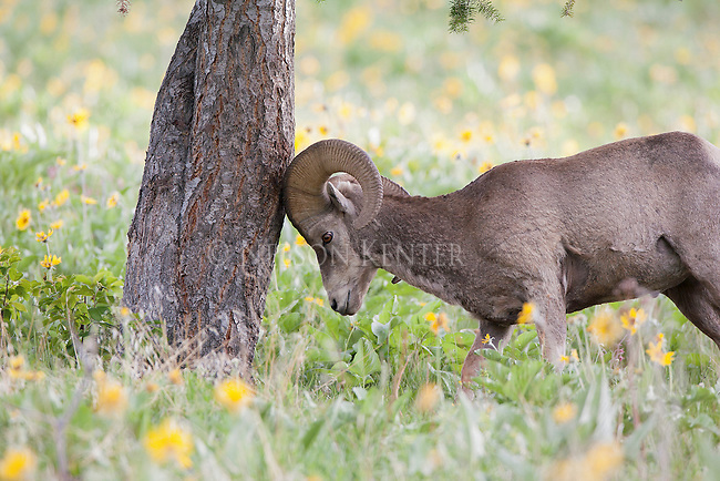 bighorn sheep ram butting head against a tree trunk