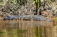 Australian Saltwater Crocodile, Daintree River, Queensland, Australia