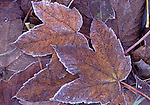 Europe, DEU, Germany, Northrhine Westphalia, Lower Rhine, Autumn, Leaf