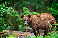 We first photographed this brown-colored Black Bear (Ursus americanus) in 2011 when he was a spring cub.  He's grown up a bit and is still a photogenic character.