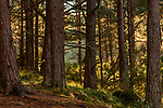 Scots pine (Pinus sylvestris), Caledonian pine forest, near Inverness, Scottish Highlands. Scotland. October.