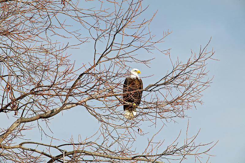 Bald Eagel in tree . Lower Klamath Fall National Wildlife Refuge. California