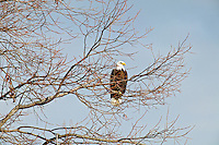 Bald Eagel in tree . Lower Klamath Fall National Wildlife Refuge. California