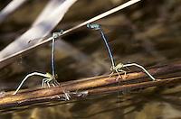 Gemeine Federlibelle, Blaue Federlibelle, Eiablage, Männchen hält Weibchen hinter dem Kopf fest, Platycnemis pennipes, white-legged damselfly