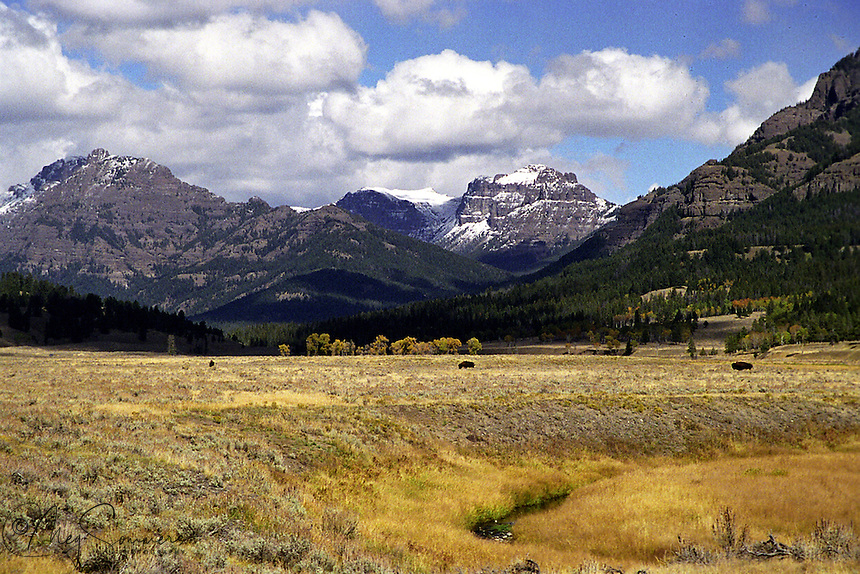 """Soda Butte creek winds through the valley as the """"Thunder"""" mountain carries an early dusting of snow. The three bull bison seem to enjoy the warm day in anticipation of the winter to come."""