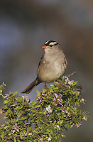White-crowned Sparrow (Zonotrichia leucophrys), adult on blooming Guayacan (Guaiacum angustifolium), Starr County, Rio Grande Valley, Texas, USA