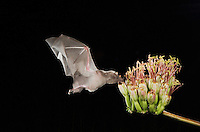 Mexican Long-tongued Bat, Choeronycteris mexicana, adult in flight at night feeding on Agave Blossom (Agave spp.),Tucson, Arizona, USA, September 2006