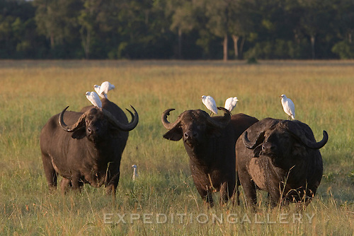 African buffalo (Syncerus caffer) with cattle egrets resting on their backs in early morning light among grasses in the Masai Mara National Reserve, Kenya. Also commonly known as Cape buffalo.