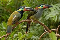 Guyana Toucanet, (Selenidera culik), male and female