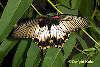LE45-526z Great Mormon Swallowtail Butterfly, Papilio memnon, Southeast Asia
