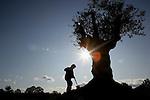 Foto: VidiPhoto..OTTERLO - Bij Wijnhoeve De Veluwe in Otterlo wordt op dit moment de eerste olijfgaard van Nederland aangelegd. In totaal komen er naast de al bestaande wijngaard, achttien olijfbomen, waarvan er één al 800 jaar oud is en drie ruim 750 jaar. Behalve een toeristische trekpleister is het de bedoeling dat er ook olijven geoogst gaan worden. De olijfbomen komen uit de Spaanse Pyreneeën en zijn bestand tegen het Nederlandse klimaat. Foto: Eigenaar Nanny Schut bij de 800 jaar oude olijfboom.