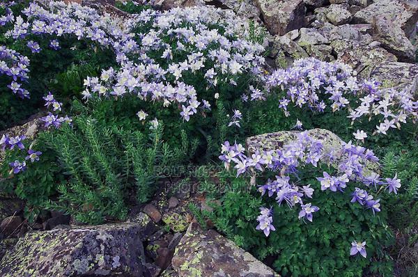 Wildflowers between rock boulders,Blue Columbine,Colorado Columbine,Aquilegia coerulea, Ledge Stonecrop, Ouray, San Juan Mountains, Rocky Mountains, Colorado, USA, July 2007