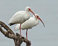 Two White Ibis, Choke Canyon State Park, TX