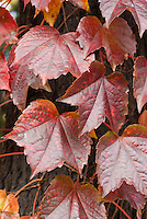 Parthenocissus tricuspidata in autumn color