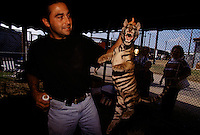 A siberian tiger being held by the scruff of its neck at the Tiger Photo Booth at the Brazoria County Fair in Angleton, Texas.