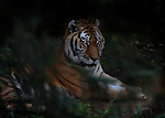 Siberian Tiger with eyes that can see in the dark. Captive