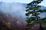Beautiful old Japanese red pine tree, Pinus densiflora, in a foggy autumn morning scenery with Arashiyama mountain in the background, Kyoto, Japan. Image © MaximImages, License at https://www.maximimages.com