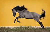 Sorraia stallion Equador