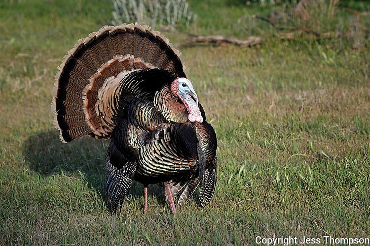 Strutting Tom Turkey, San Angelo, Texas