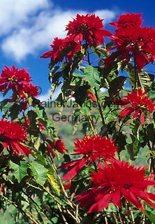 Spanien, Kanarische Inseln, Gran Canaria, Weihnachtsstern (Euphorbia pulcherrima), auch Adventsstern oder Poinsettie genannt   Spain, Canary Islands, Gran Canaria, Poinsettia, Christmas star, Winter rose