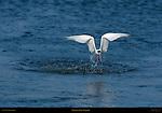 Elegant Tern Takeoff, Bolsa Chica Wildlife Refuge, Southern California