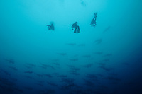 divers watching a school of scalloped hammerhead sharks,Sphyrna lewini, at malpelo island, colombia, pacific ocean