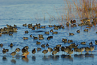 American coots (Fulica americana) and Northern Shoveler hen near open water in frozen pond.  Pacific Northwest.  Winter.