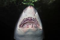 Sand tiger shark, Carcharias taurus, captive