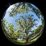 Brazoria County, Damon, Texas;  a circular view of several live oak trees standing in the pasture against a cloudless blue sky in early morning sunlight