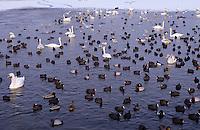 Wasservögel im Winter auf einem eisfreien Gewässerteil, Höckerschwan, Tafelente, Stockente, Bläßralle, Bläßhuhn, Lachmöwe, Reiherente