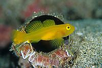 Dinah's goby, Lubricogobius exiguus, Futo, Sagami bay, Izu peninsula, Shizuoka, Japan, Pacific Ocean