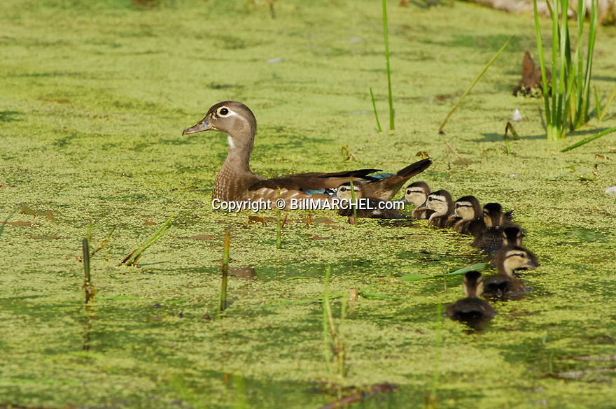 00360-087.10 Wood Duck (DIGITAL) hen and brood are on secluded pond containing duck weed.  Hunt, waterfowl, wetland.  H3L1