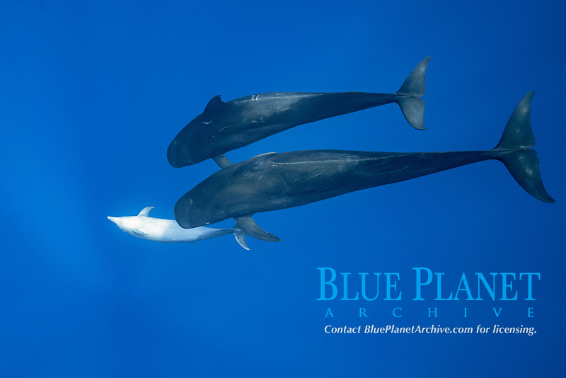 a female bottlenose dolphin, Tursiops truncatus, solicits attention from a pair of male short-finned pilot whales, Globicephala macrorhynchus, north Kona Coast, Hawaii, U.S.A. (Central Pacific Ocean)