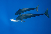 a female bottlenose dolphin, Tursiops truncatus, solicits attention from a pair of male short-finned pilot whales, Globicephala macrorhynchus, north Kona Coast, Hawaii, U.S.A. ( Central Pacific Ocean )