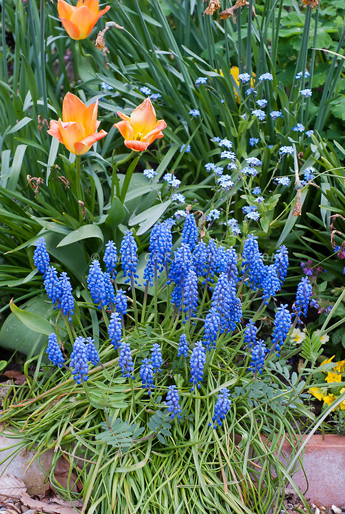 Muscari grape hyacinths in spring boom with tulip bulbs Tulipa and forget me not Myosotis, blue flowers with orange tulips